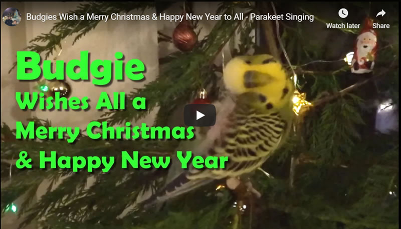 Budgies Wish a Merry Christmas & Happy New Year to All - Parakeet Singing